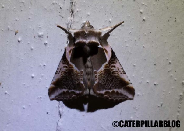 mothweek_10